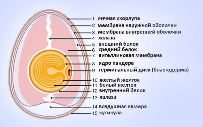 Анатомия куриного яйца